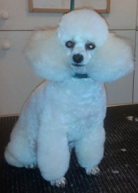 Beckys professional dog grooming city guilds qualified white poodle winobraniefo Image collections